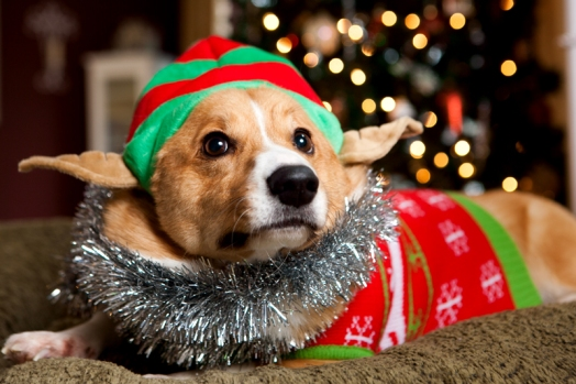 pembroke-welsh-corgi-christmas-card-photos-01 - Copy